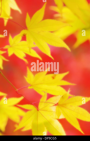 Tree acer rubra stock photos tree acer rubra stock for Asian cuisine sudbury ontario