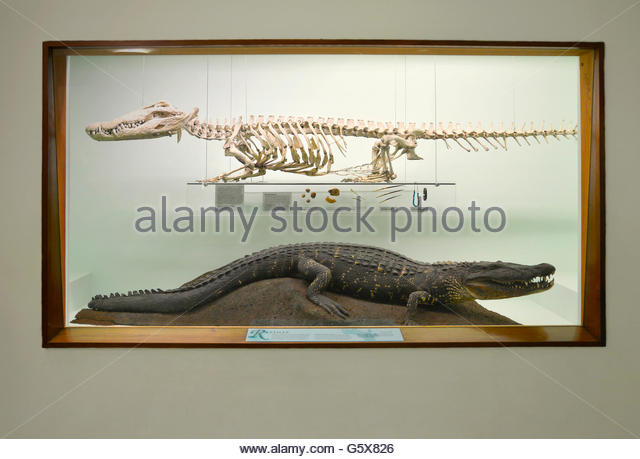 Crocodile  Wikipedia