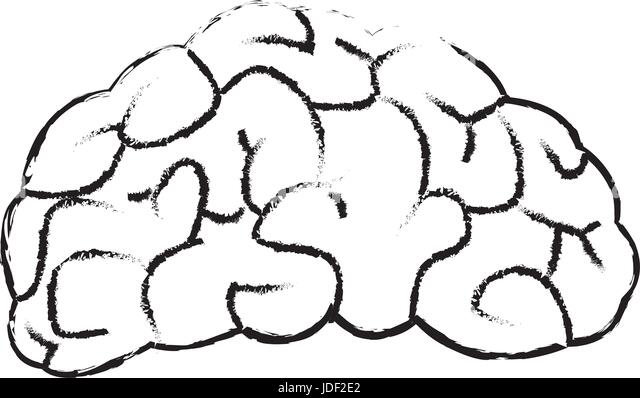 Brain Anatomical Drawing Stock Photos Brain Anatomical Drawing