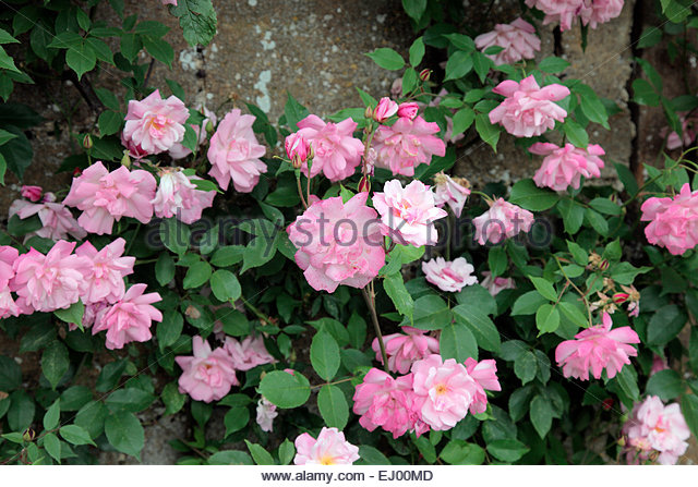 Old Blush Rose Stock Photos & Old Blush Rose Stock Images - Alamy