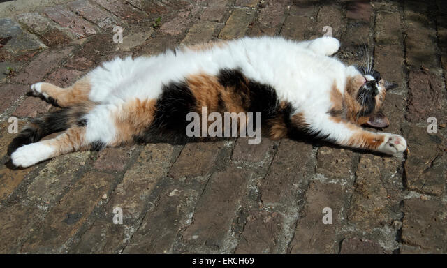 Tortoise Shell Cat Stock Photos Amp Tortoise Shell Cat Stock