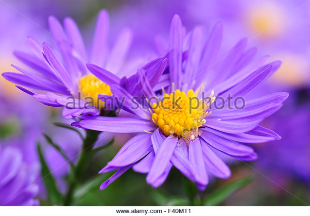 close up purple aster bud stock photos  close up purple aster bud, Beautiful flower
