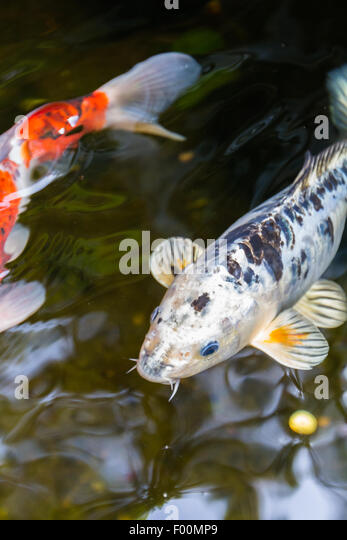 Koi fish pond stock photos koi fish pond stock images for Koi pond maker