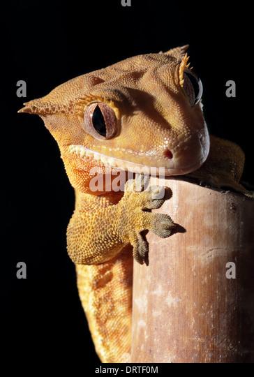 image stock photo gargoyale geck clinging bamboo