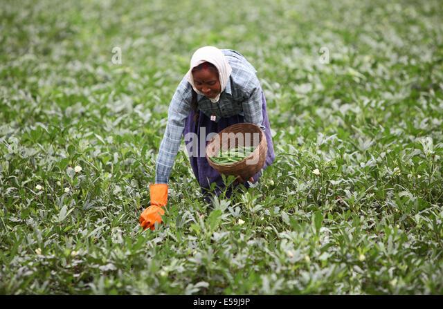 Image result for punjab lady finger farming
