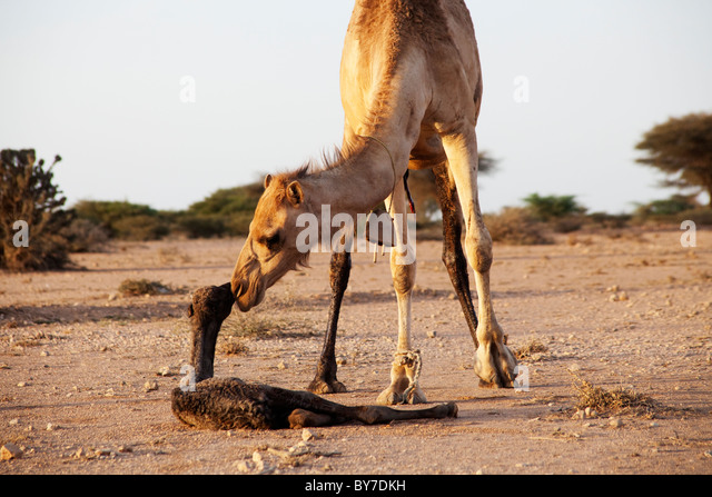 Camels and Kindness in Somaliland | Travel Blog
