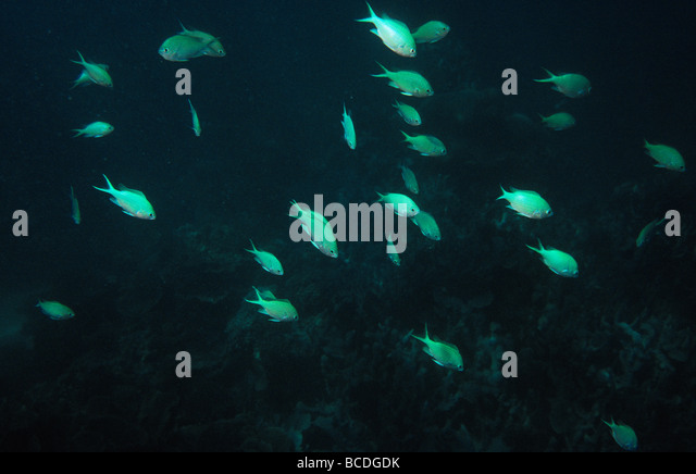 school of blue green chromis fish stock photos & school of blue, Reel Combo