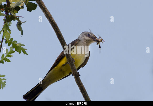 Tyrannus tyrannus stock photos tyrannus tyrannus stock images a western kingbird adult tyrannus verticalis a flycatcher with a dragon fly catch thecheapjerseys Image collections