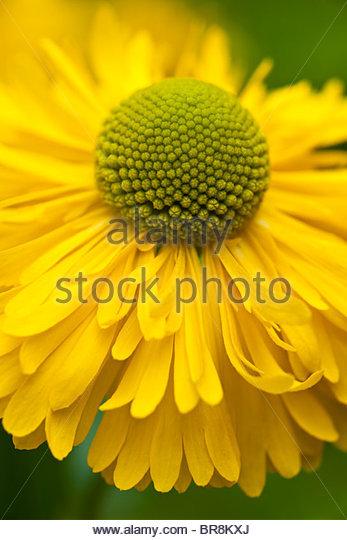 Common Yellow Garden Flowers helenium flower garden blossom stock photos & helenium flower