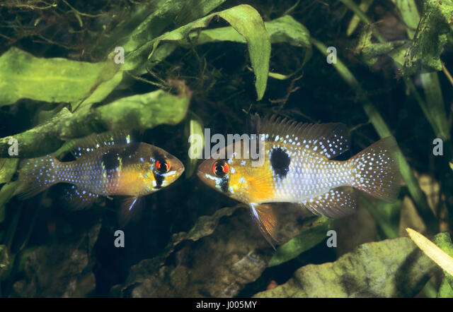 Cichlide stock photos cichlide stock images alamy for Malawi buntbarsch