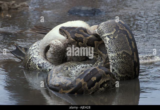 how to stop a snake from constricting