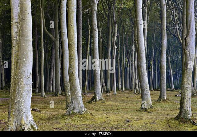 Nienhagen Wood In Mecklenburg Vorpommern Germany