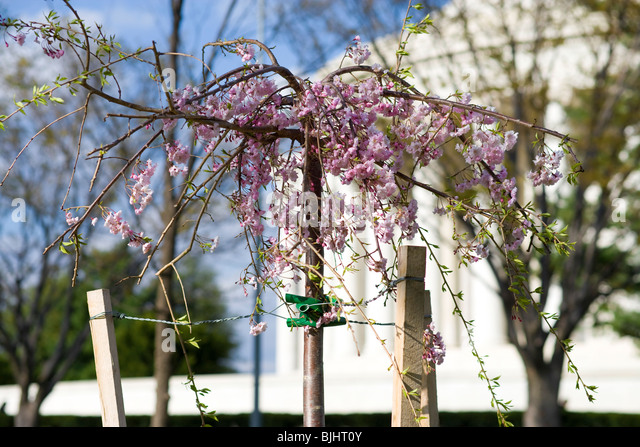 Weeping Cherry Tree In Bloom Stock Photos Weeping Cherry