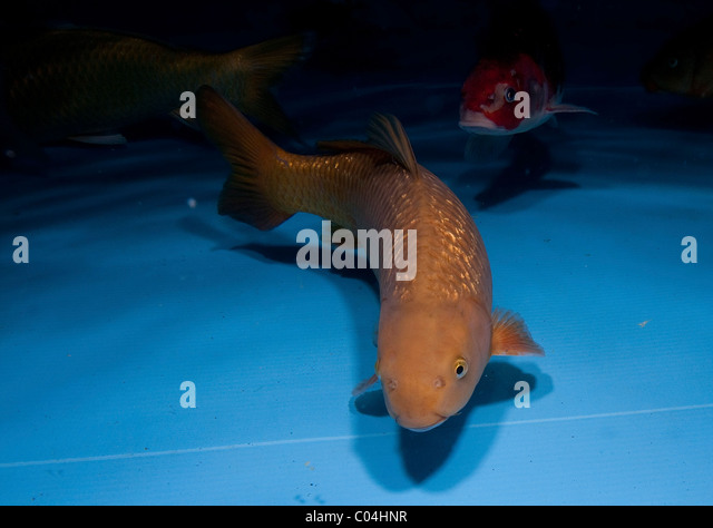 Ornamental fish breeding stock photos ornamental fish for Ornamental carp