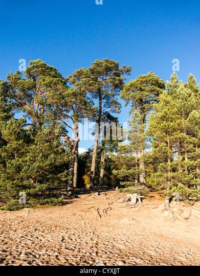 Glenmore forest park scotland stock photos glenmore for Mature pine trees