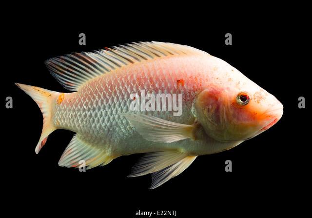 Mozambique red fish stock photos mozambique red fish for Tilapia aquarium