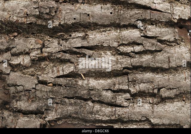 evergreen tree bark background - photo #29