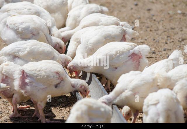 Poultry Turkey Turkeys Pen Stock Photos & Poultry Turkey ...