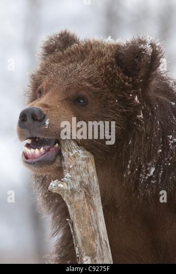 Brown Bear Cub Close Up Stock Photos & Brown Bear Cub ...