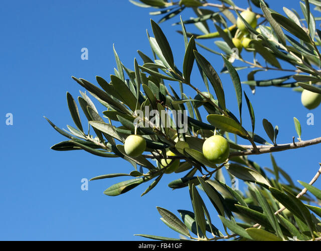 The Olive Tree Property Spain
