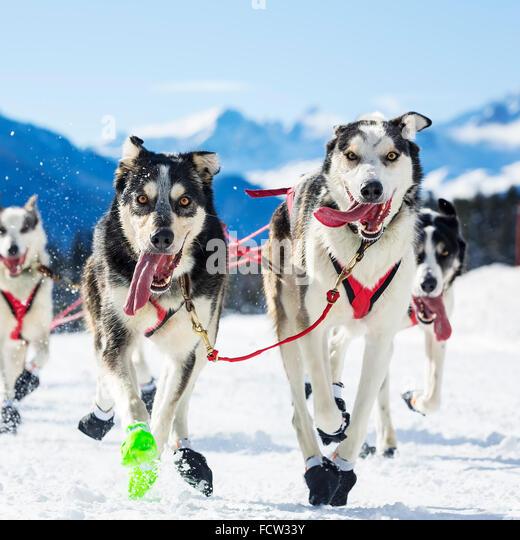 Sled Dog Race Stock Photos & Sled Dog Race Stock Images ...