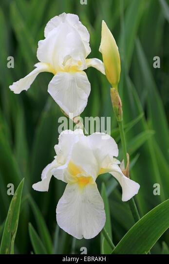 iris flower coloured stock photos iris flower coloured stock images alamy. Black Bedroom Furniture Sets. Home Design Ideas