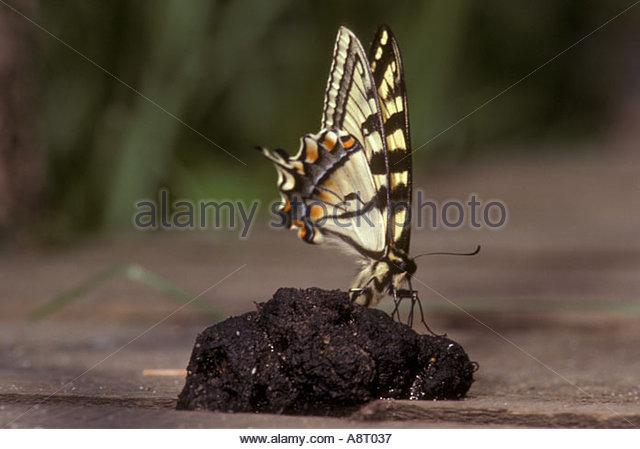 http://l7.alamy.com/zooms/b51c7223754641db80724ee54a266b78/canadian-tiger-swallowtail-butterfly-feeding-on-raccoon-dung-papilio-a8t037.jpg