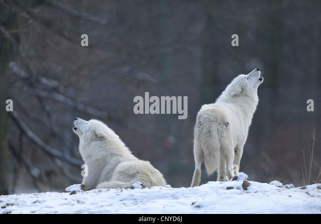 Arctic Wolves In The Tundra