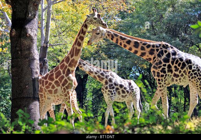 Bronx zoo giraffe