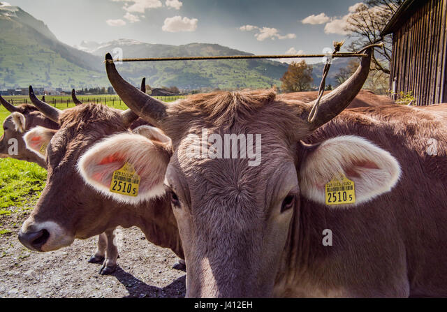 Cattle Ear Tags Stock Photos & Cattle Ear Tags Stock ...