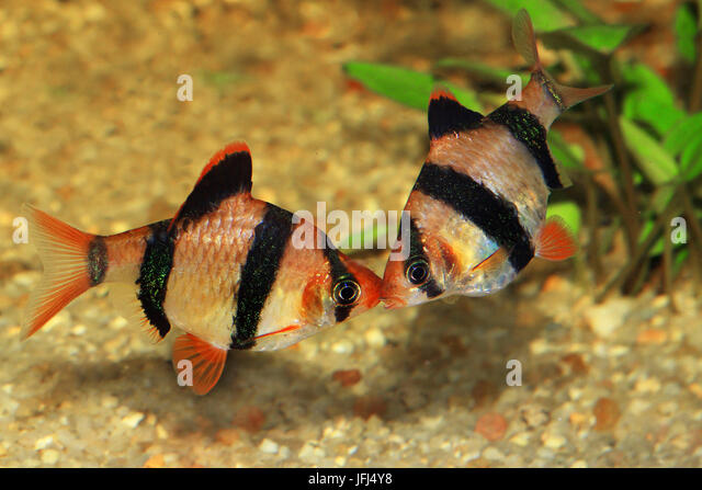 Tetrazona stock photos tetrazona stock images alamy for Tiger barb fish