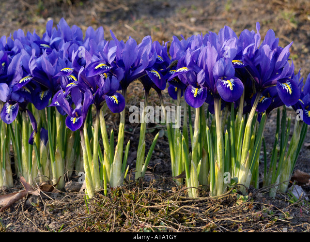 related keywords suggestions for iris reticulata. Black Bedroom Furniture Sets. Home Design Ideas
