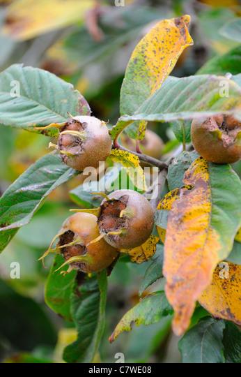 medlar fruit ripe medlar tree mespilus stock photos. Black Bedroom Furniture Sets. Home Design Ideas