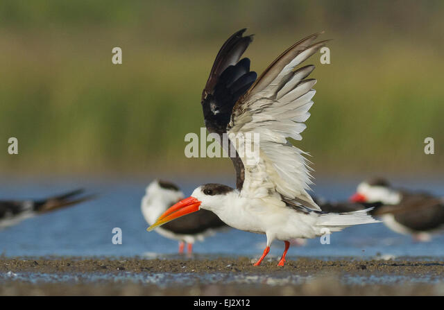 birds landing hindu singles How bird flocks move in unison ani  collective decision making process of flocks of birds landing on  efforts to phase out single-use.