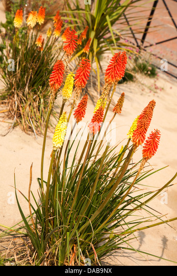 Red hot poker plant toxic