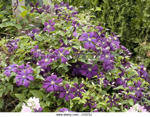 clematis etoile violette stock photos clematis etoile. Black Bedroom Furniture Sets. Home Design Ideas