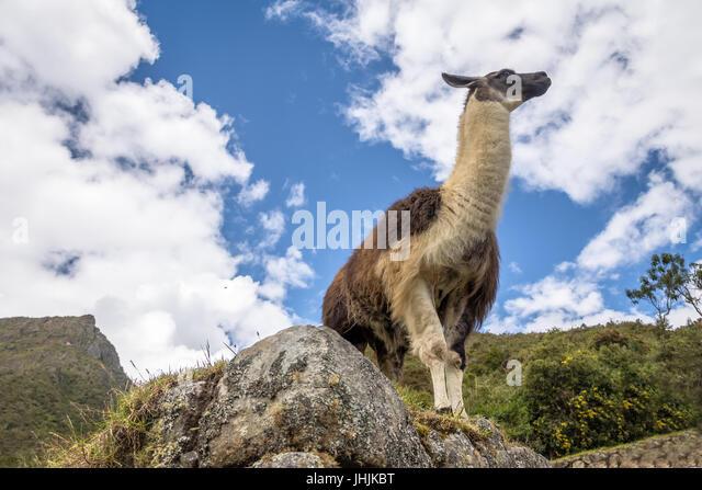 Llamas at Machu Picchu Inca Ruins - Sacred Valley, Peru - Stock Image