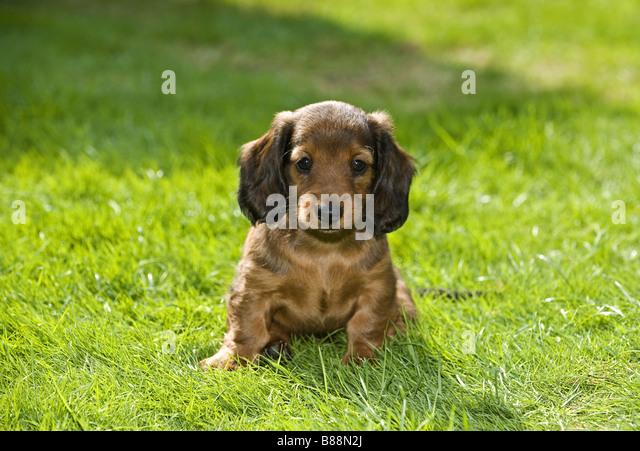 Cute mini dachshunds