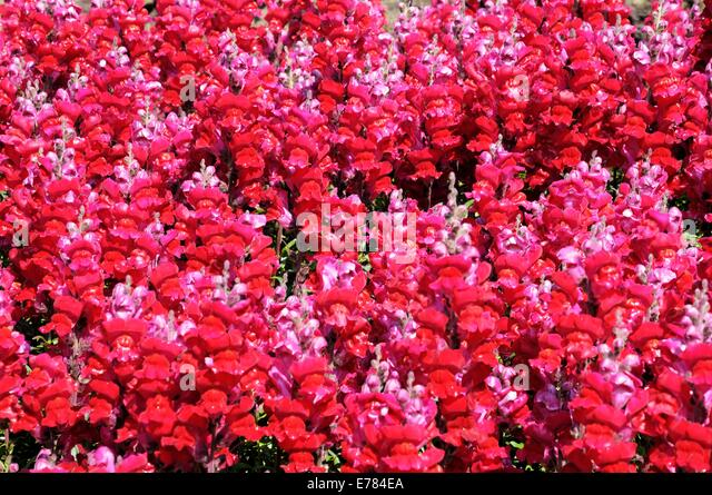 Red Snapdragon Flowers Antirrhinum Stock Photos & Red ...