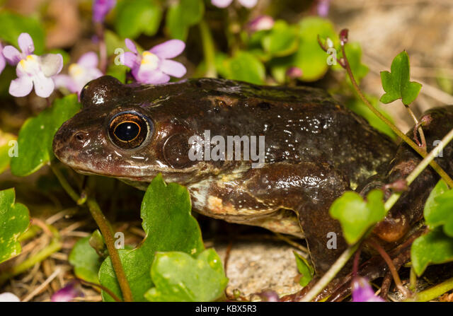 UK Common Frog, Rana Temporaria, In Vegetation By The Side Of A Garden Pond