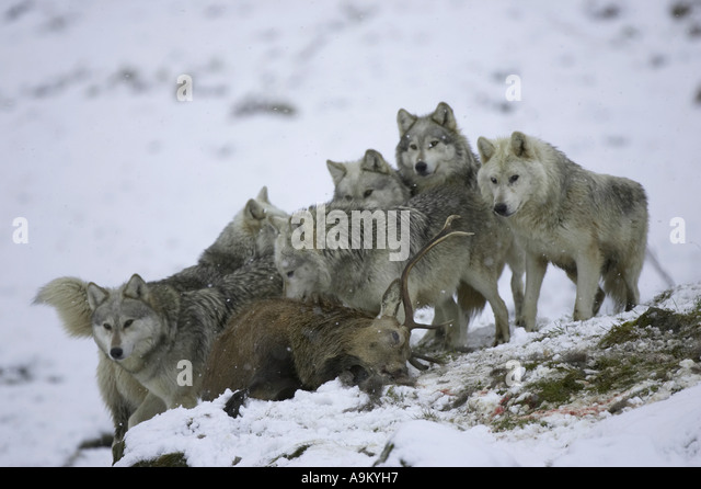 Wolf Pack Hunting Stock Photos & Wolf Pack Hunting Stock ...