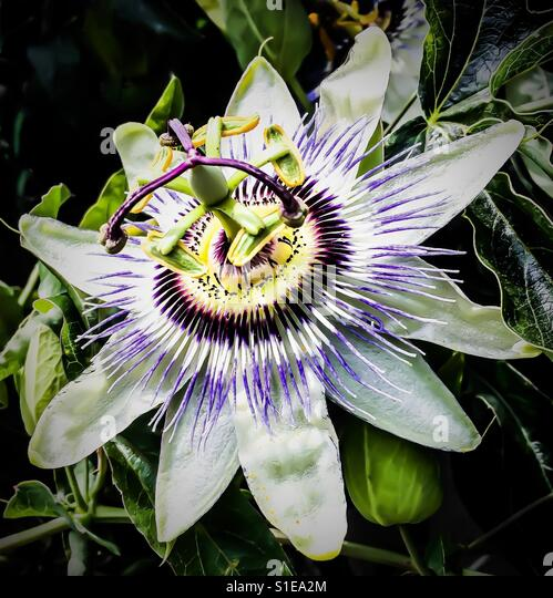 how to make passion flower tea