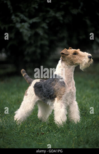 Wire Haired Fox Terrier Adult Standing Stock Photos & Wire Haired ...