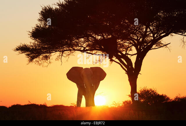 silhouetted african elephant at sunset etosha national park namibia stock image