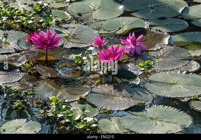 Lotus kerala stock photos lotus kerala stock images alamy for Lotus plant for sale
