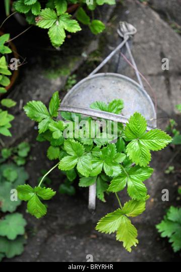 how to grow strawberries in pots uk