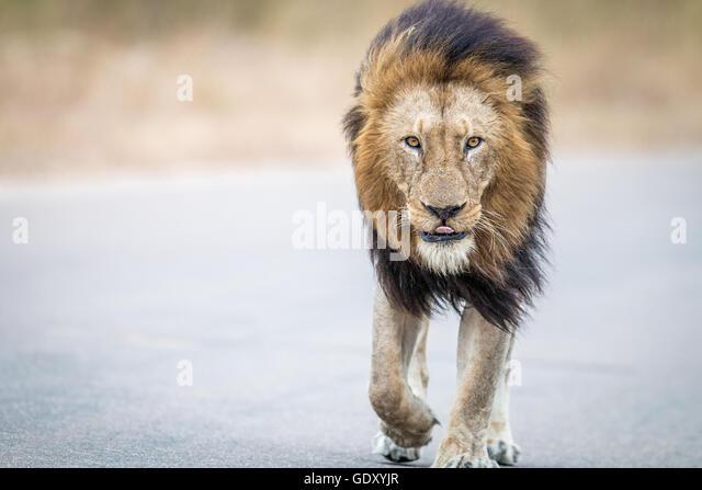 lion walking towards camera stock photos amp lion walking