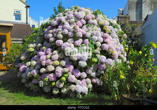 magnificent large flowering hydrangea bush in an english garden on the south coast stock image - Hydrangea Bush