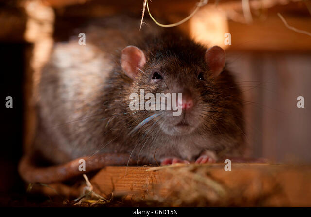 Rodents Rattus Stock Photos Amp Rodents Rattus Stock Images