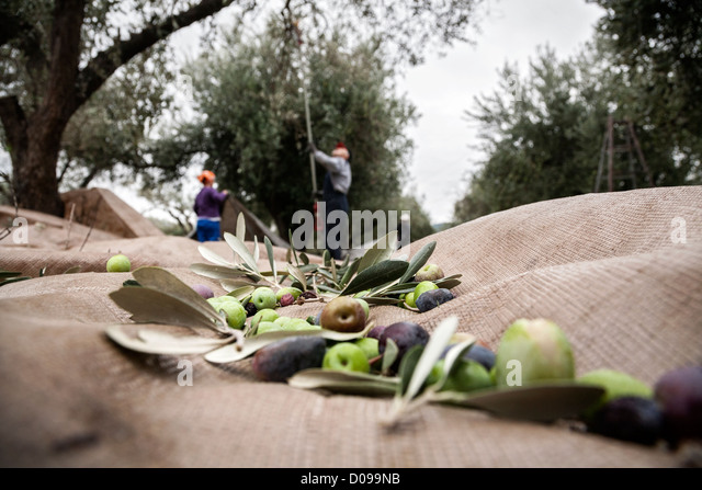olives-on-the-olives-harvesting-net-duri